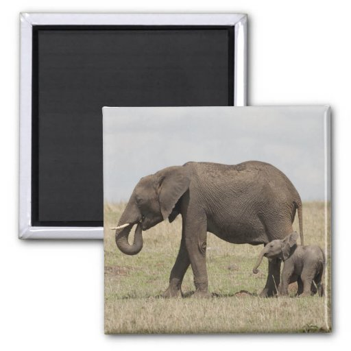 African Elephant mother with baby walking Magnets