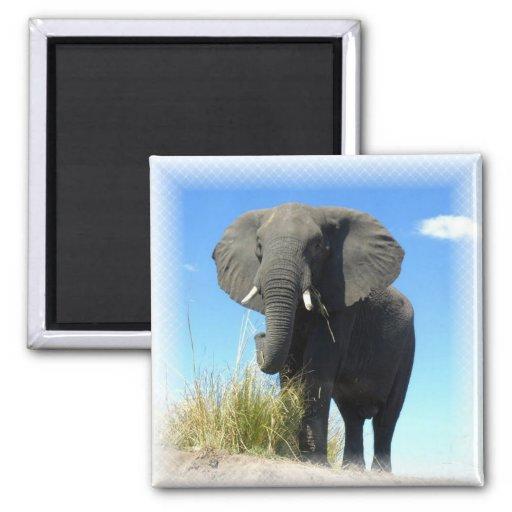 African Elephant Square Magnet Magnet