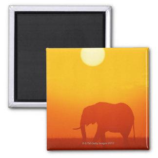 African elephant walking at sunset , Kenya Magnet