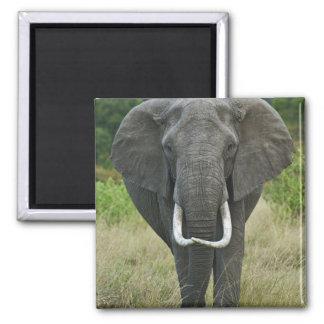 African Elephantna loxodonta, Masai Mara Game Magnet
