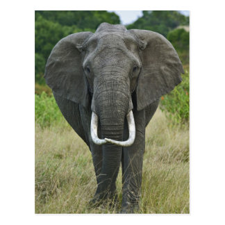 African Elephantna loxodonta, Masai Mara Game Postcard