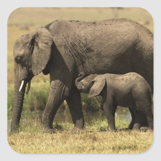 African Elephants at water pool Square Sticker