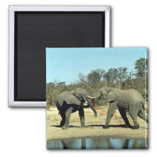 African Elephants fighting Square Magnet