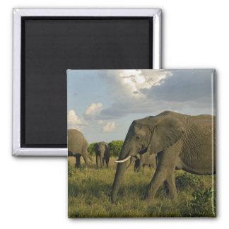 African Elephants grazing, Loxodonta africana, Magnets