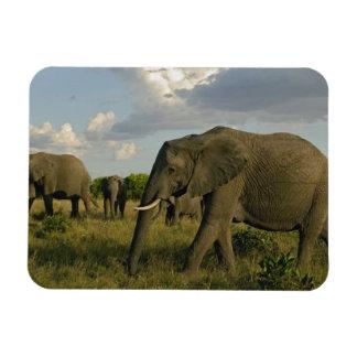 African Elephants grazing, Loxodonta africana, Rectangular Photo Magnet