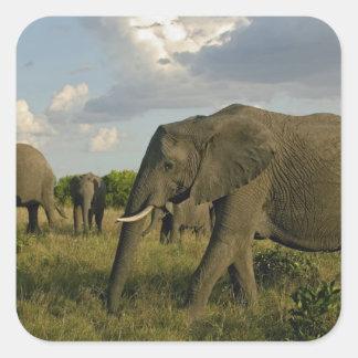 African Elephants grazing, Loxodonta africana, Square Sticker