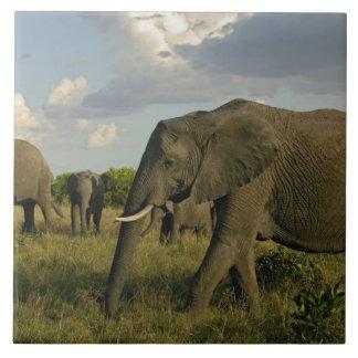 African Elephants grazing, Loxodonta africana, Tile