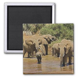 African Elephants, Loxodonta Africana, Samburu Refrigerator Magnets