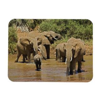 African Elephants, Loxodonta Africana, Samburu Magnet