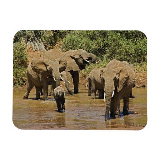 African Elephants, Loxodonta Africana, Samburu Rectangle Magnets