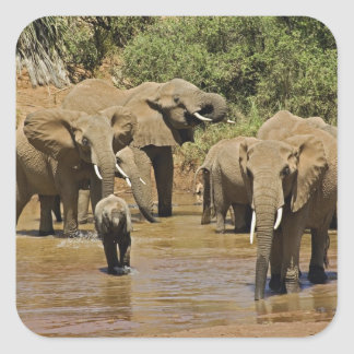 African Elephants, Loxodonta Africana, Samburu Square Sticker