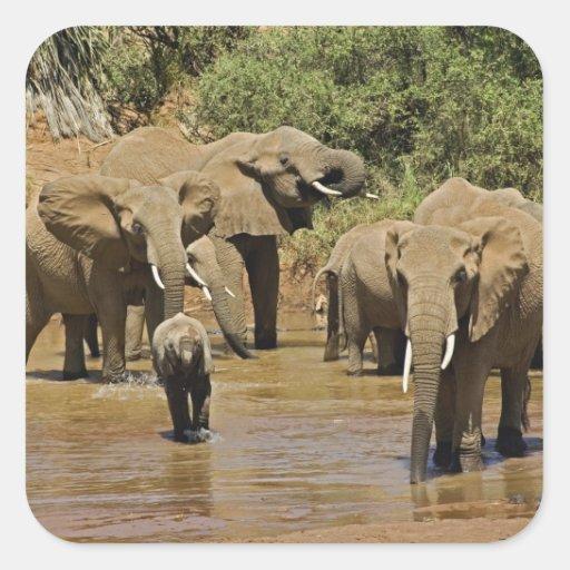 African Elephants, Loxodonta Africana, Samburu Stickers