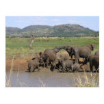 African Elephants Postcards