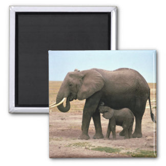 African Elephants - Small Calf Nursing Square Magnet