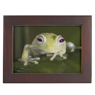 African Glass Frog, Hyperolius viridiflavus, Keepsake Box