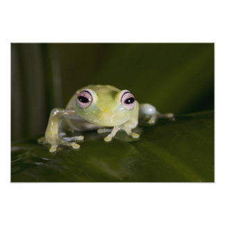African Glass Frog, Hyperolius viridiflavus, Photo Print