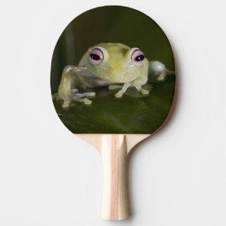African Glass Frog, Hyperolius viridiflavus, Ping Pong Paddle