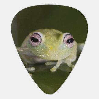 African Glass Frog, Hyperolius viridiflavus, Plectrum