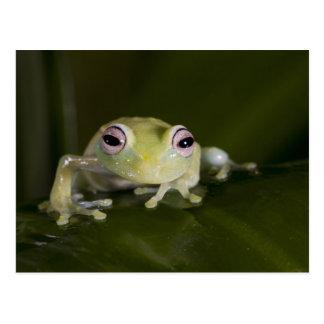 African Glass Frog, Hyperolius viridiflavus, Postcard