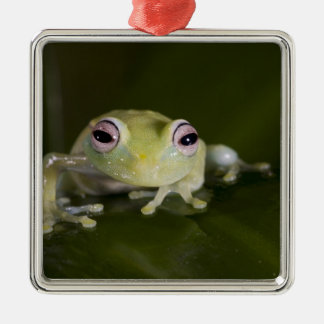African Glass Frog, Hyperolius viridiflavus, Silver-Colored Square Decoration