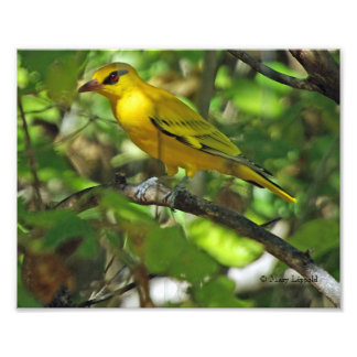 AFRICAN GOLDEN ORIOLE PHOTO