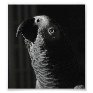 "African Grey 10"" x 8"", Kodak Photo Paper (Satin)"