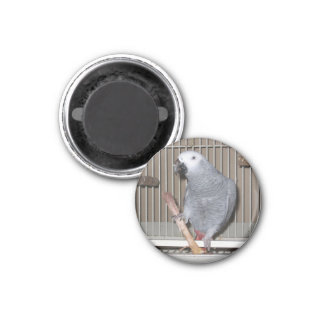 African Grey Parrot eating a chicken bone 3 Cm Round Magnet
