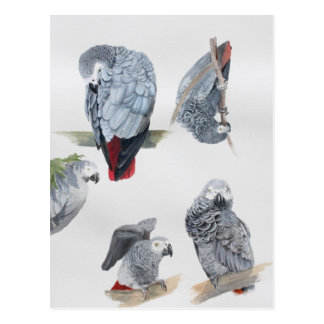 African Grey Parrot. Exclusive designed by Griff Postcard