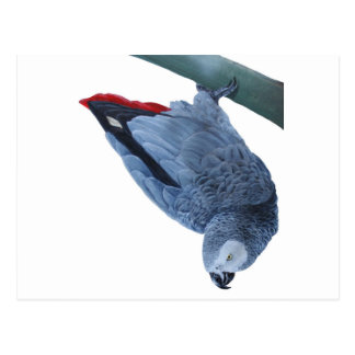 African grey parrot gifts postcard