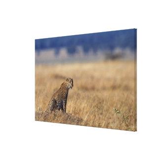 African leopard in grasslands , Kenya , Africa Canvas Print