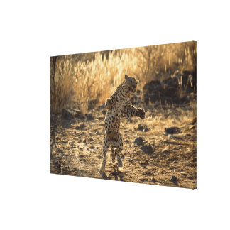 African leopard on hind legs , Namibia , Africa Canvas Print