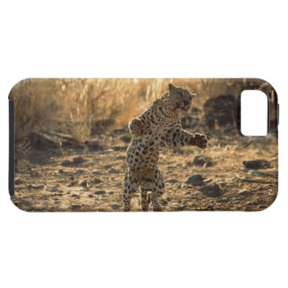 African leopard on hind legs , Namibia , Africa iPhone 5 Cover