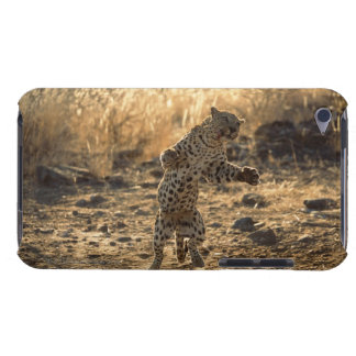 African leopard on hind legs , Namibia , Africa iPod Touch Case