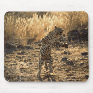 African leopard on hind legs , Namibia , Africa Mouse Mat