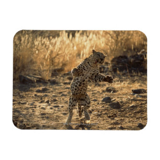 African leopard on hind legs , Namibia , Africa Rectangular Photo Magnet
