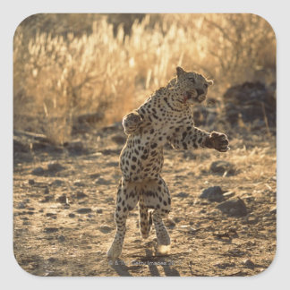 African leopard on hind legs , Namibia , Africa Square Sticker