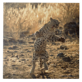 African leopard on hind legs , Namibia , Africa Tile