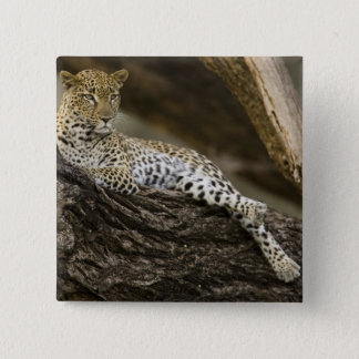 African Leopard, Panthera pardus, in a tree in 15 Cm Square Badge
