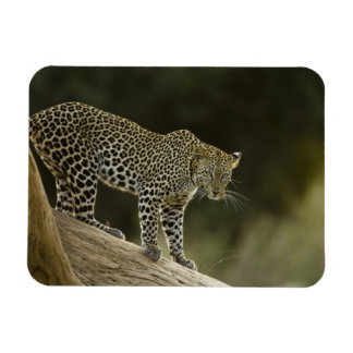 African Leopard, Panthera pardus, in a tree in 2 Rectangular Photo Magnet