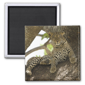 African Leopard, Panthera pardus, in a tree in Magnet
