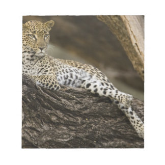 African Leopard, Panthera pardus, in a tree in Notepad