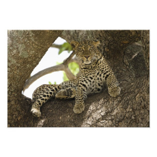 African Leopard Panthera pardus in a tree in Photographic Print
