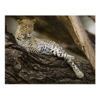 African Leopard, Panthera pardus, in a tree in Postcard