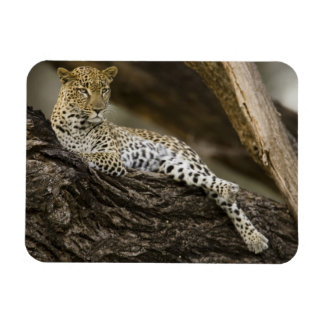 African Leopard, Panthera pardus, in a tree in Rectangular Magnet