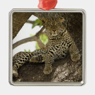 African Leopard, Panthera pardus, in a tree in Silver-Colored Square Decoration