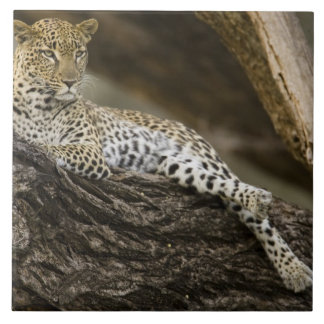 African Leopard, Panthera pardus, in a tree in Tile