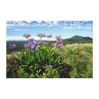 African Lily (Agapanthus praecox), Mossel Bay Gallery Wrapped Canvas