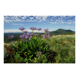 African Lily (Agapanthus praecox), Mossel Bay Posters