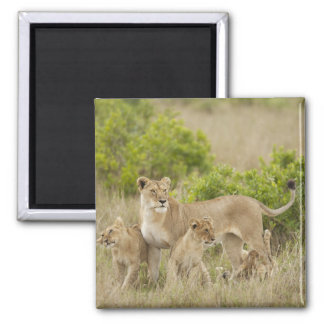 African Lion adult female with cubs, alert Magnet