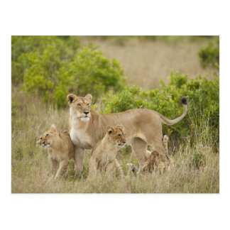 African Lion adult female with cubs, alert Postcard